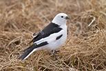 Snow Bunting - breeding plumage