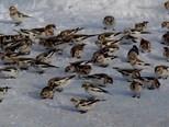 Snow Buntings - flock on road